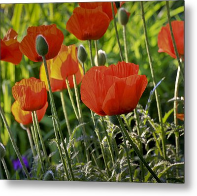 Metal Print featuring the photograph Poppy Flower by Nick Mares