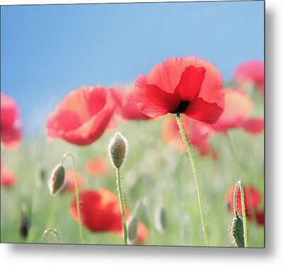 Red Poppies Metal Print by Amy Tyler