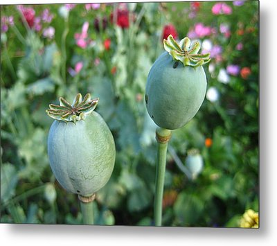 Poppy Pods Metal Print by Shirley Sirois