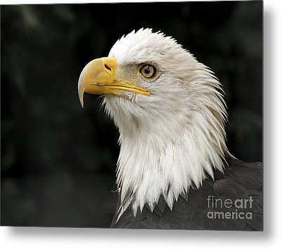 Metal Print featuring the photograph Portrait Of A Bald Eagle by Inge Riis McDonald