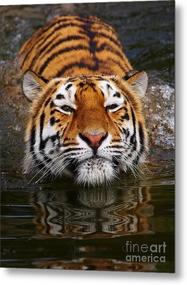 Portrait Of A Bathing Siberian Tiger Metal Print
