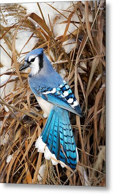 Portrait Of A Blue Jay Metal Print by Bill Wakeley