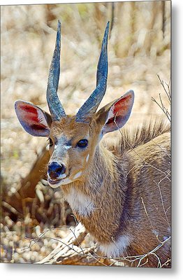 Portrait Of A Bushbuck In Kruger National Park-south Africa  Metal Print by Ruth Hager