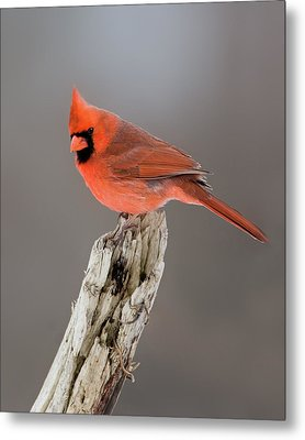 Metal Print featuring the photograph Portrait Of A Cardinal by Timothy McIntyre
