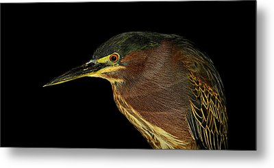Portrait Of A Green Heron Metal Print