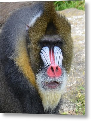 Portrait Of A Mandrill Metal Print by Jim Fitzpatrick