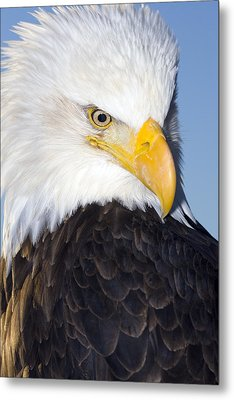 Portrait Of A Mature Bald Eagle In Metal Print by Don Pitcher