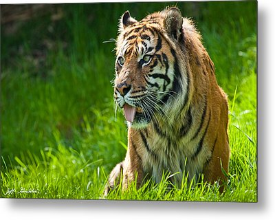 Metal Print featuring the photograph Portrait Of A Sumatran Tiger by Jeff Goulden