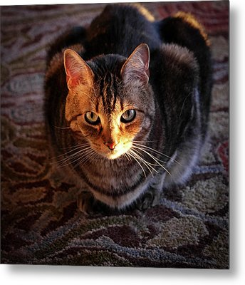 Portrait Of A Tabby Cat With Sunlight Metal Print