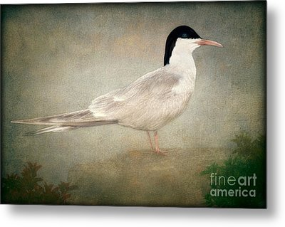 Portrait Of A Tern Metal Print by Tom York Images