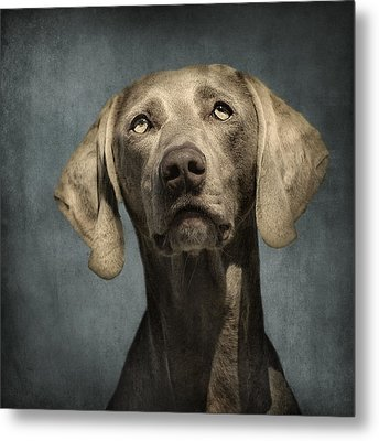 Portrait Of A Weimaraner Dog Metal Print