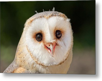 Portrait Of A Young Barn Owl Metal Print