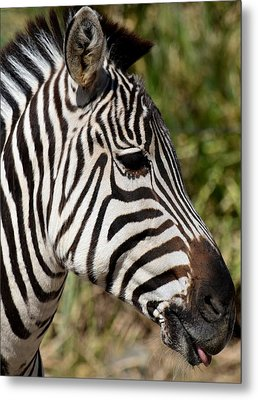 Portrait Of A Zebra Metal Print by Maria Urso