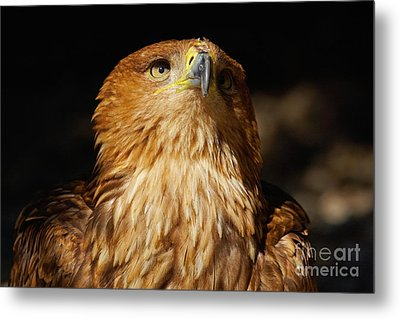 Metal Print featuring the photograph Portrait Of An Eastern Imperial Eagle by Nick  Biemans