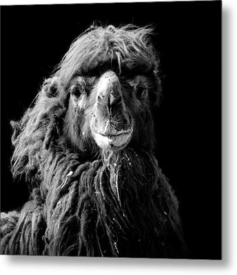 Portrait Of Camel In Black And White Metal Print by Lukas Holas