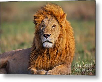 Portrait Of Lion Romeo II In Masai Mara Metal Print by Maggy Meyer
