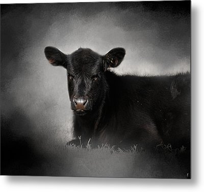 Portrait Of The Black Angus Calf Metal Print