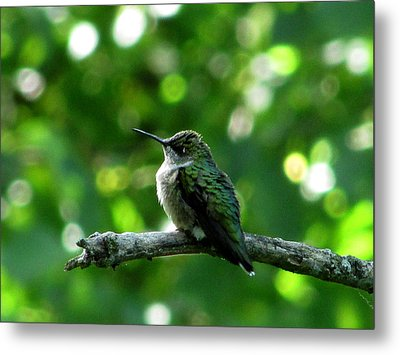 Posing Ruby Throat Metal Print by Kimberly Mackowski