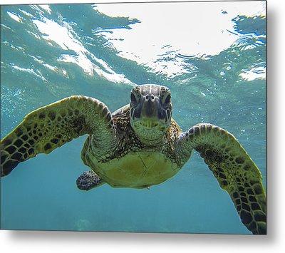 Posing Sea Turtle Metal Print