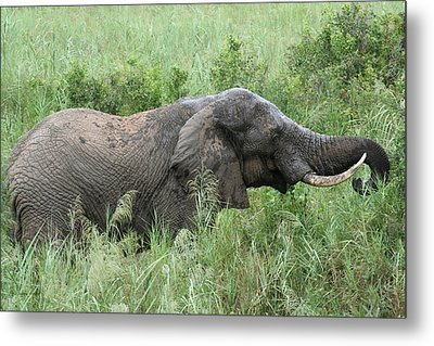 Post Mud Bath Appetite Metal Print