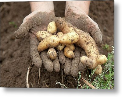 Potato Harvest Metal Print by Jim West