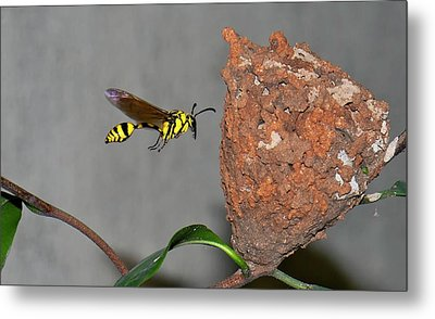 Potter Wasp With Nest Metal Print