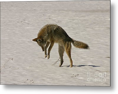 Metal Print featuring the photograph Pouncing Coyote by Mitch Shindelbower