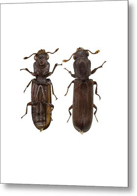 Powder Post Beetle Metal Print by F. Martinez Clavel