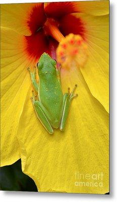 Powdered Frog  Metal Print by Kathy Gibbons