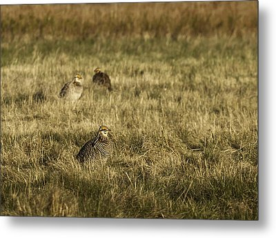 Prairie Chickens After The Boom Metal Print
