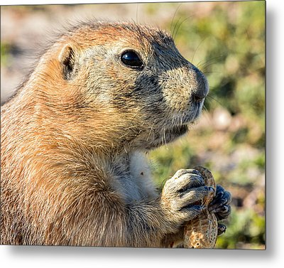 Prairie Dog 2 Metal Print by Robin Williams