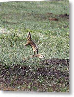 Prairie Dog Ferret Fight Metal Print