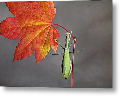 Praying Mantis Metal Print by Buddy Mays