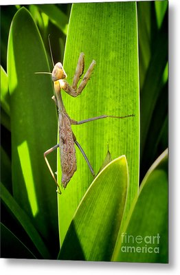 Metal Print featuring the photograph Praying Mantis by Kasia Bitner