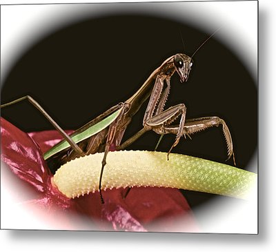 Praying Mantis Taking A Walk On The Anthurium Flower With A White Mat Finish Metal Print by Leslie Crotty