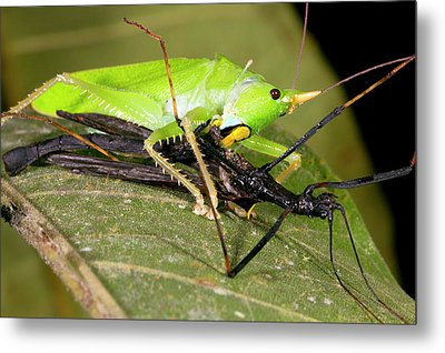 Predatory Katydid Eating A Stick Insect Metal Print