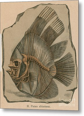 Prehistoric Fish Platax Altissimus Metal Print by Science Source