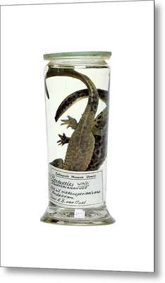Preserved Newts Metal Print by Gregory Davies
