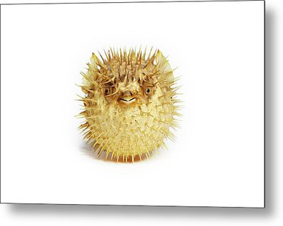 Preserved Pufferfish Metal Print by Gregory Davies
