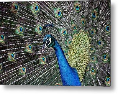 Pretty As A Peacock Metal Print by Paulette Thomas