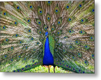 Pretty As A Peacock Metal Print by Tony  Colvin
