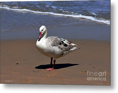 Metal Print featuring the photograph Pretty Goose Posing On Monterey Beach by Susan Wiedmann