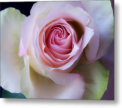 Pretty In Pink - Roses Macro Flowers Fine Art  Photography Metal Print