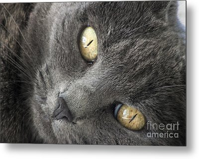 Pretty Kitty Eyes Metal Print by Darleen Stry