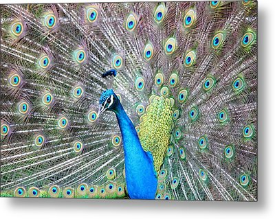 Metal Print featuring the photograph Pretty Peacock by Elizabeth Budd