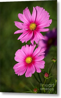 Pretty Pink Cosmos Twins Metal Print