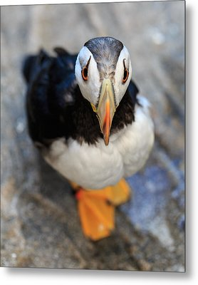 Metal Print featuring the photograph Pretty Puffin by Jennifer Casey
