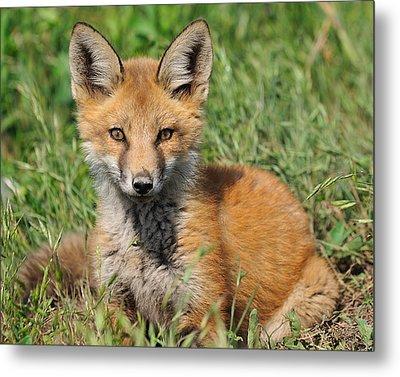 Pretty Red Fox Kit Metal Print by Angel Cher
