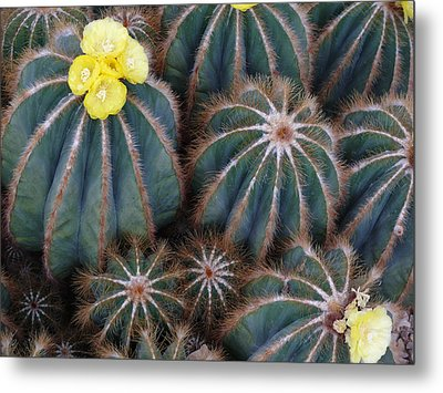 Prickly Beauties Metal Print by Evelyn Tambour