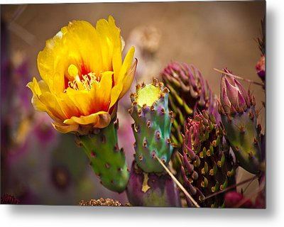Prickly Pear Cactus Metal Print by Swift Family